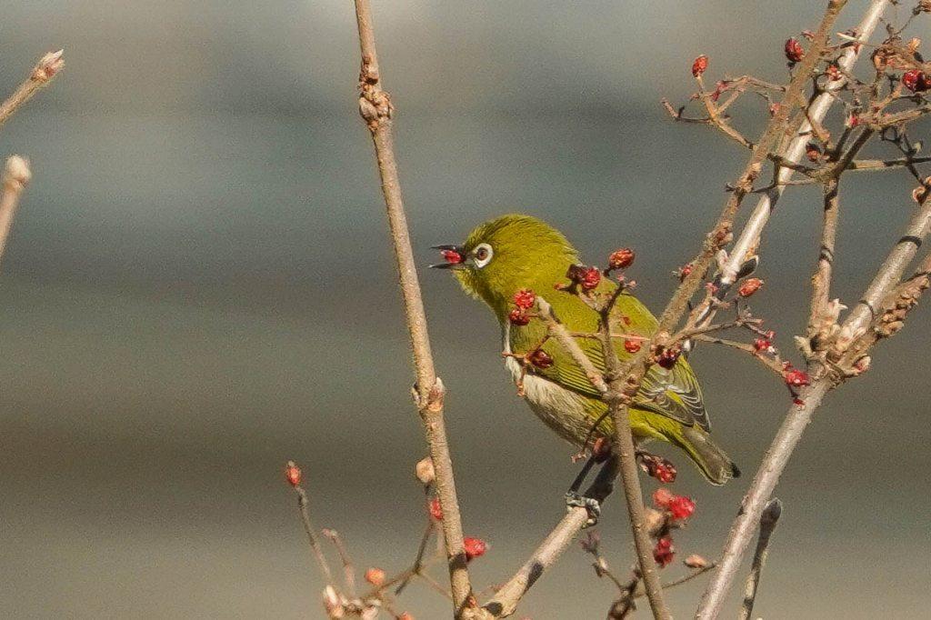 赤い木の実を食べるメジロ_e0293921_15430928.jpg