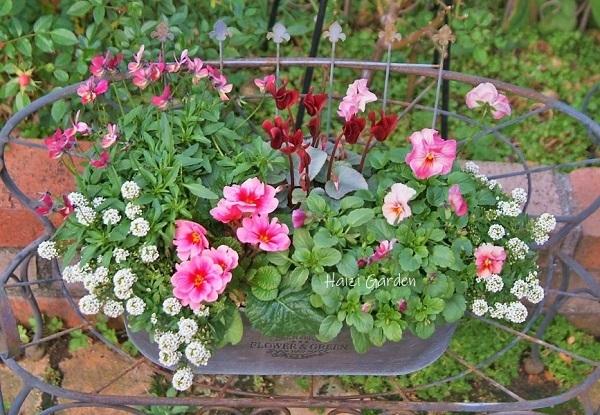 アレコレちょい足しのバラの土替え - ハイジの玄関先ガーデン エピソード2♪