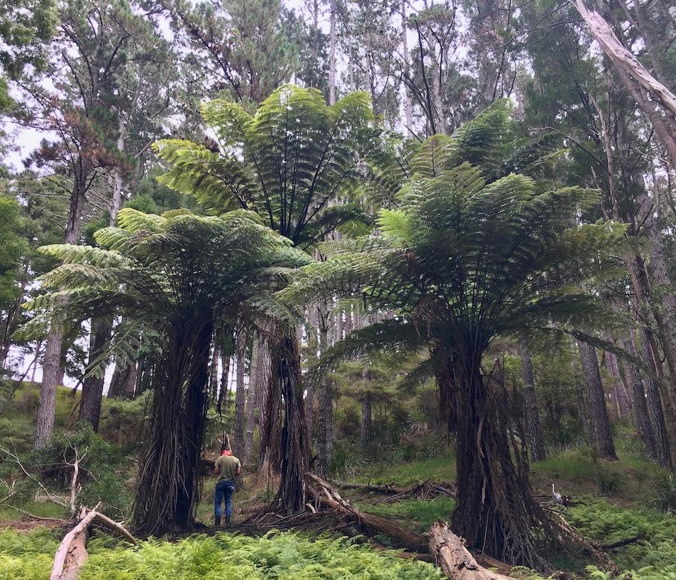 ファームの巨大シダ/ Our Giant Ferns - アメリカからニュージーランドへ