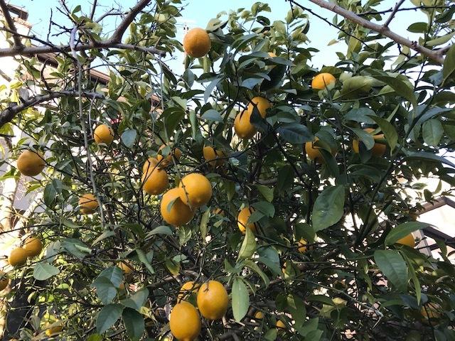 レモン収穫、ラップに包み冷蔵庫で保存1・13_c0014967_07515546.jpg
