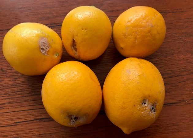 レモン収穫、ラップに包み冷蔵庫で保存1・13_c0014967_07524197.jpg
