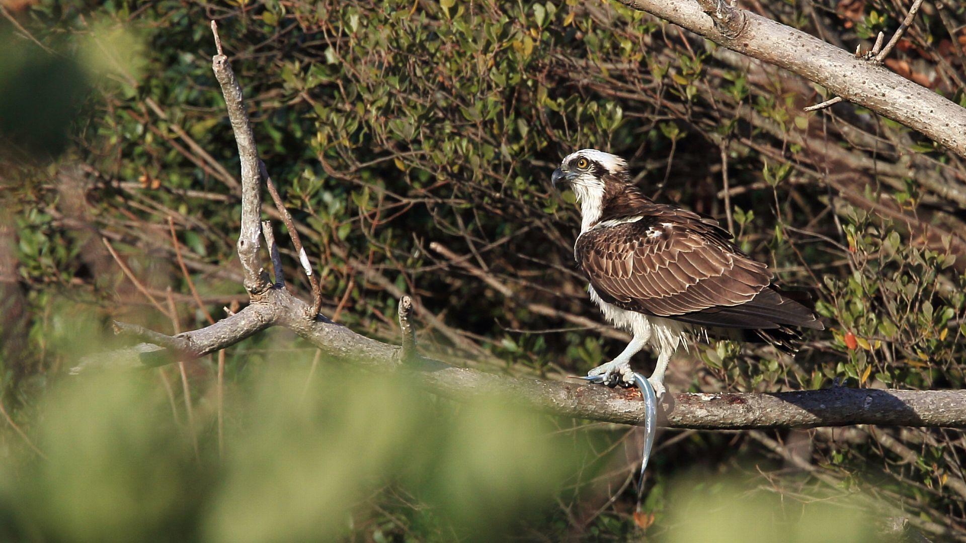 朝の散歩で流木に止まったミサゴに遭遇!_f0105570_20311224.jpg