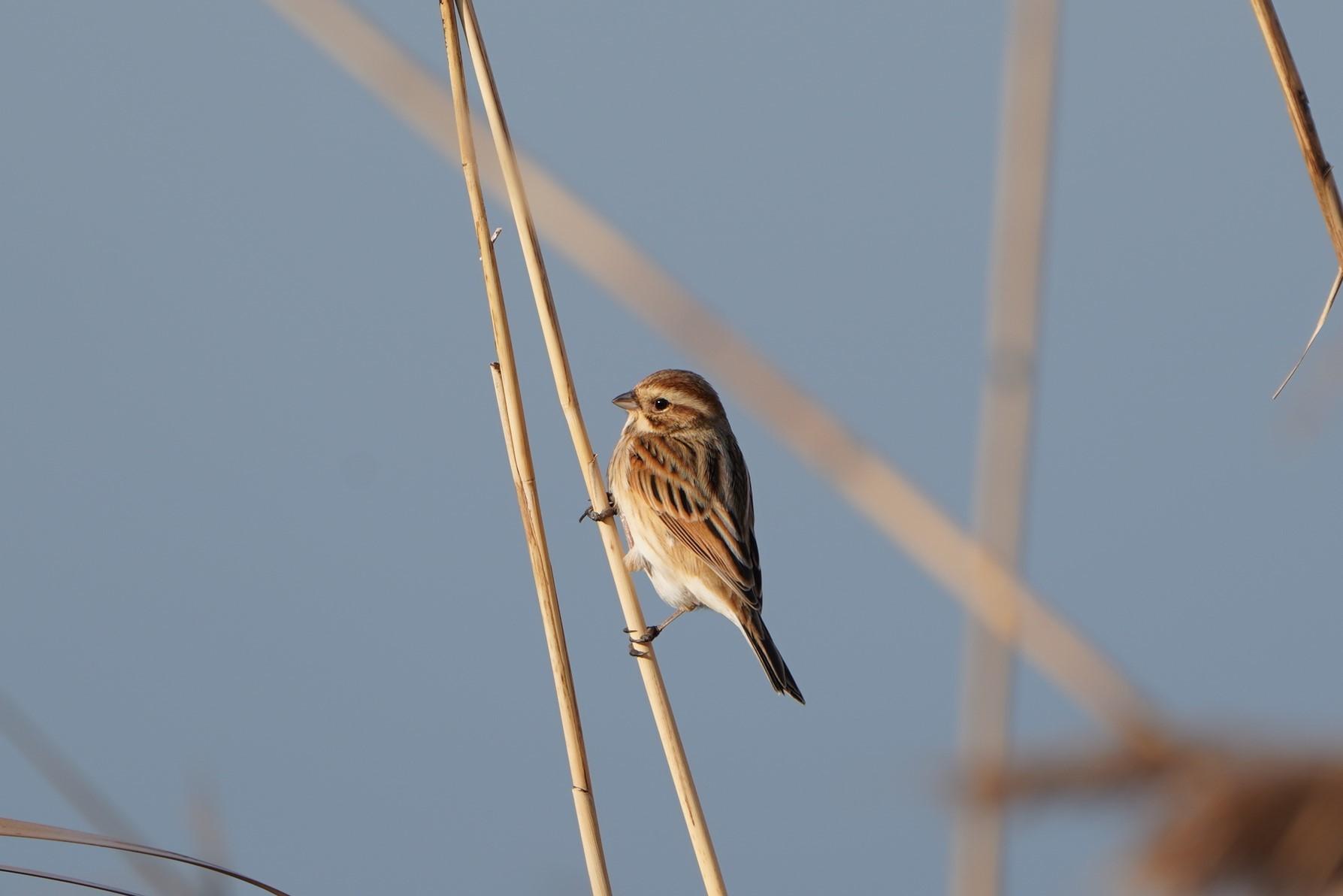 アオジが観察しやすくなりました。★先週末の鳥類園(2021.1.16~17)_e0046474_18124550.jpg