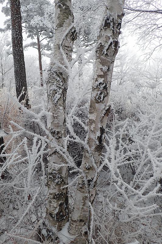 霧氷とオオマシコ_d0053309_17165570.jpg