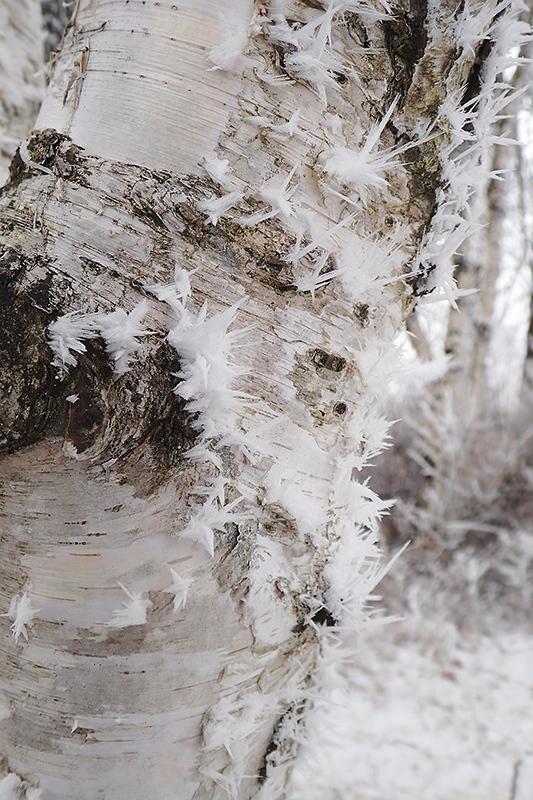 霧氷とオオマシコ_d0053309_17172162.jpg