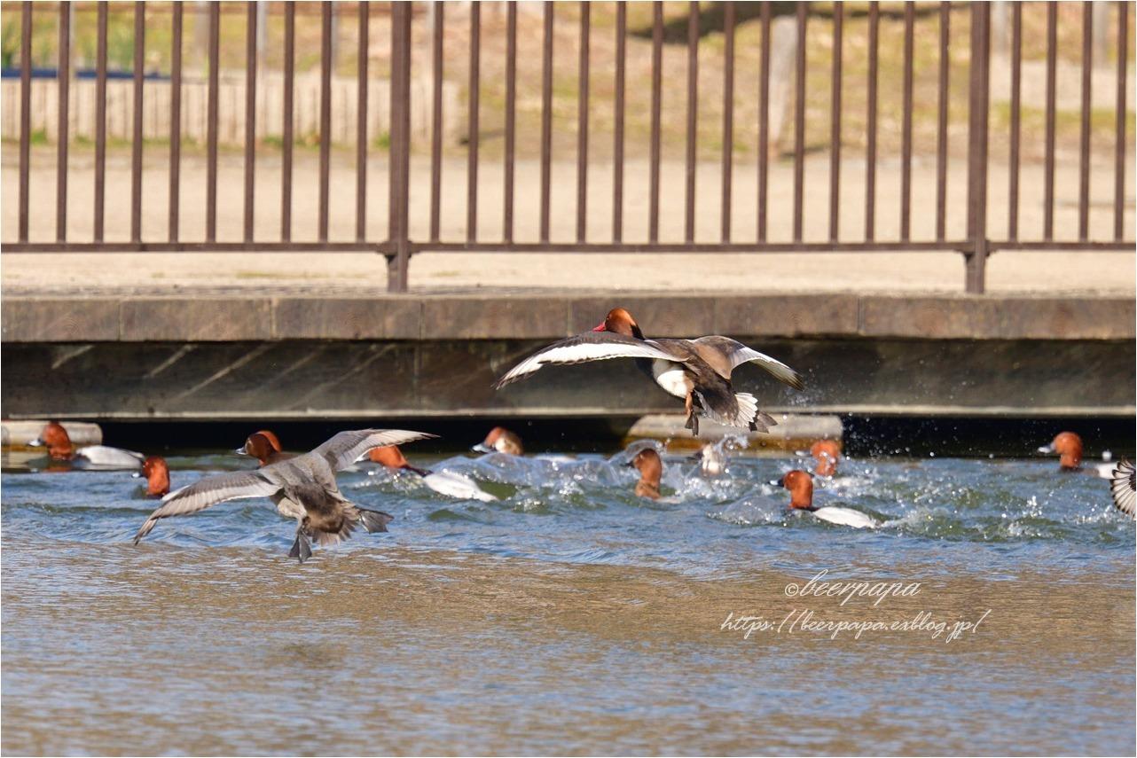 小さな池で...アカハシハジロ_a0076493_18080556.jpg
