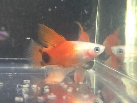 210121 熱帯魚 めだか 水草_f0189122_12224089.jpeg