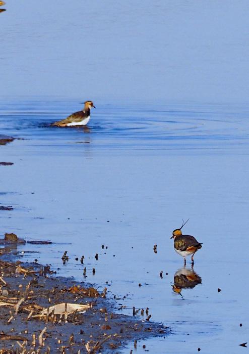 湿原に冬の貴婦人(タゲリ)が現れる_d0290240_02004212.jpg
