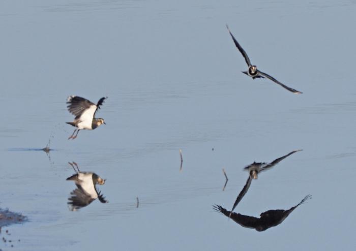 湿原に冬の貴婦人(タゲリ)が現れる_d0290240_02004531.jpg
