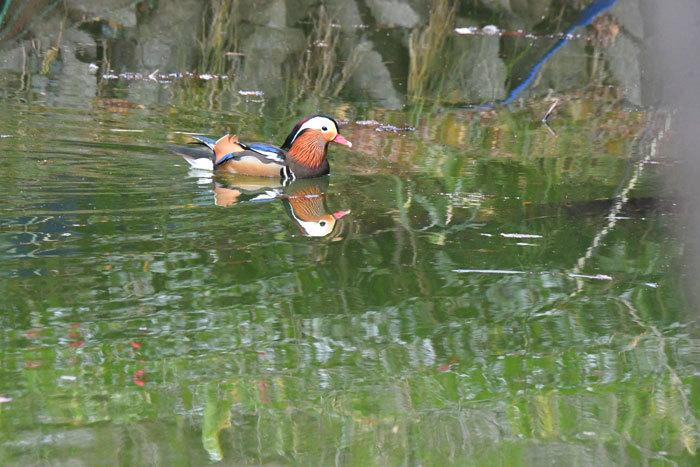 お池の鴨さん♪ <鴛鴦・巴鴨>_e0248688_17324659.jpg