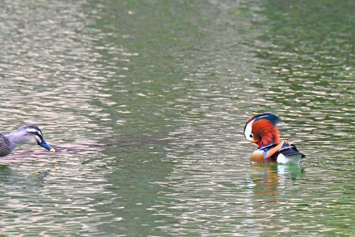 お池の鴨さん♪ <鴛鴦・巴鴨>_e0248688_17394334.jpg