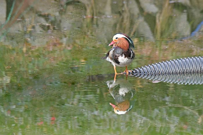 お池の鴨さん♪ <鴛鴦・巴鴨>_e0248688_17395788.jpg