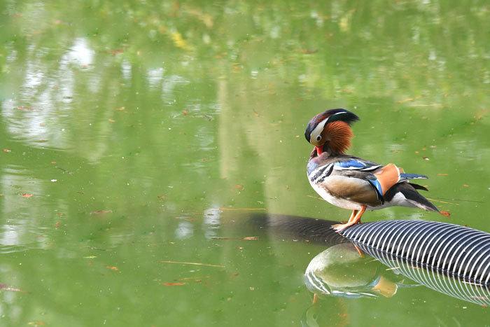 お池の鴨さん♪ <鴛鴦・巴鴨>_e0248688_17401425.jpg