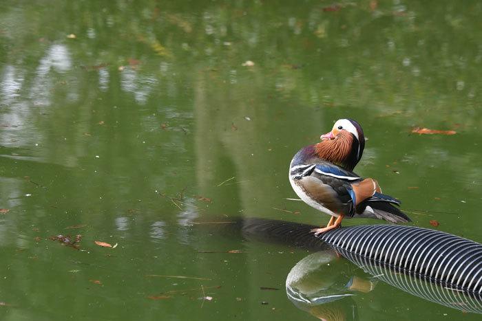 お池の鴨さん♪ <鴛鴦・巴鴨>_e0248688_17402561.jpg