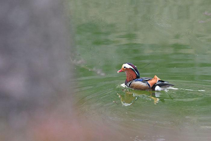 お池の鴨さん♪ <鴛鴦・巴鴨>_e0248688_17413970.jpg