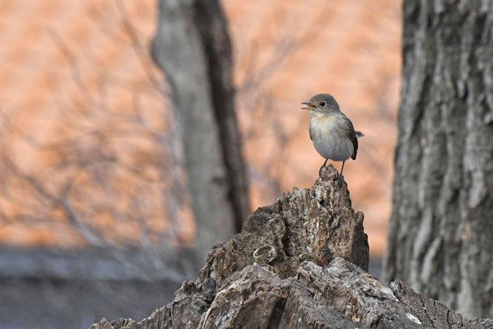 雑木林の鳥さん♪ <西尾白鶲>_e0248688_17492356.jpg