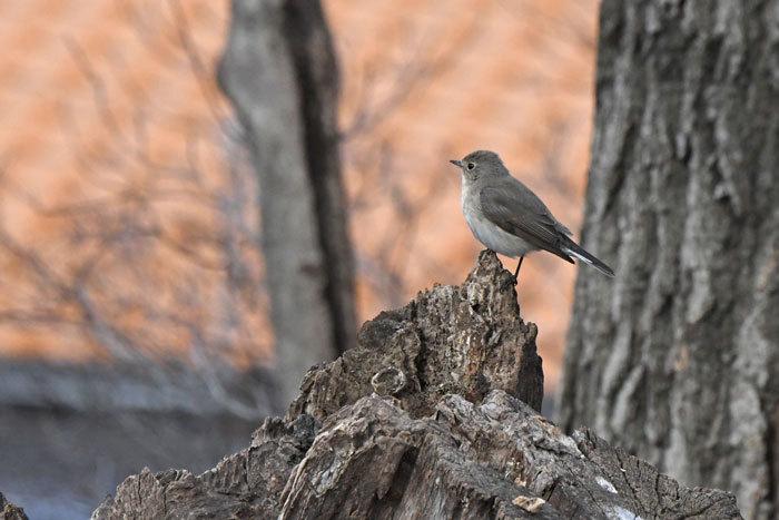 雑木林の鳥さん♪ <西尾白鶲>_e0248688_17493401.jpg