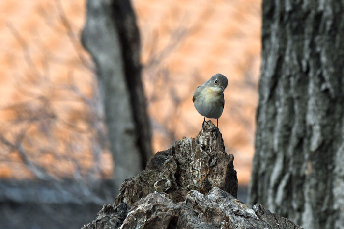 雑木林の鳥さん♪ <西尾白鶲>_e0248688_17494496.jpg