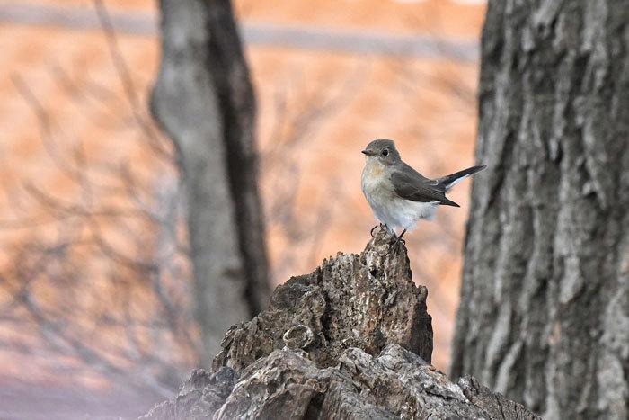 雑木林の鳥さん♪ <西尾白鶲>_e0248688_17495511.jpg