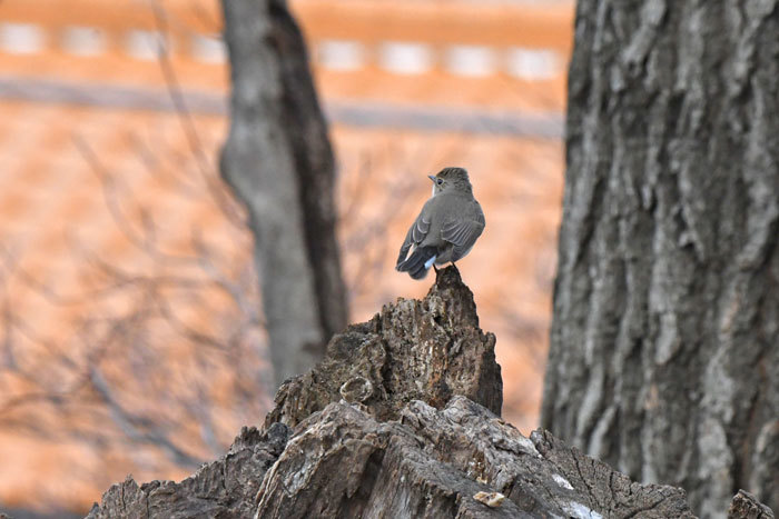 雑木林の鳥さん♪ <西尾白鶲>_e0248688_17500451.jpg