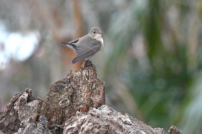 雑木林の鳥さん♪ <西尾白鶲>_e0248688_17501831.jpg