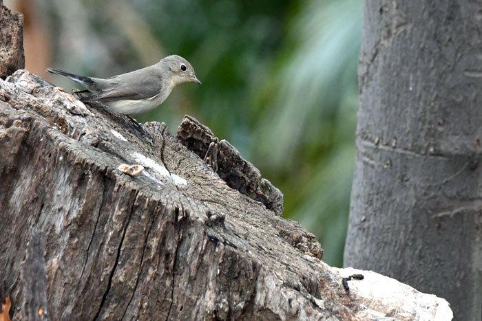 雑木林の鳥さん♪ <西尾白鶲>_e0248688_17502932.jpg