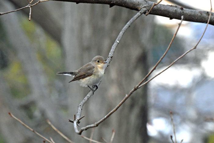 雑木林の鳥さん♪ <西尾白鶲>_e0248688_17504246.jpg