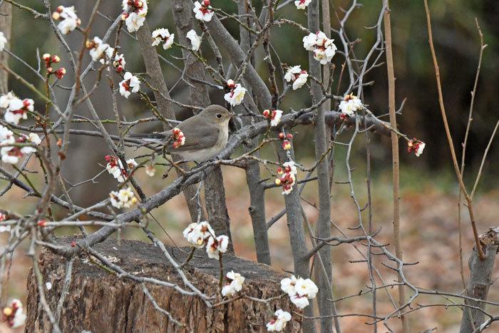 雑木林の鳥さん♪ <西尾白鶲>_e0248688_17505311.jpg