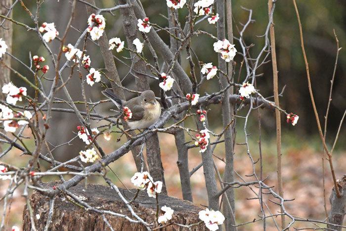 雑木林の鳥さん♪ <西尾白鶲>_e0248688_17510424.jpg