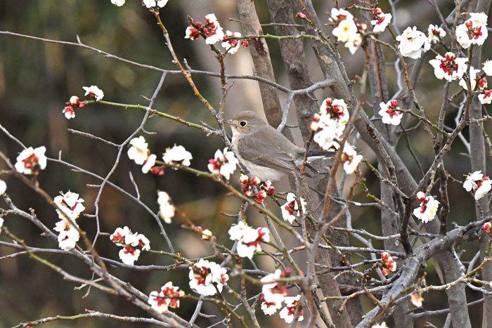 雑木林の鳥さん♪ <西尾白鶲>_e0248688_17511374.jpg