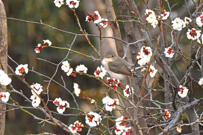 雑木林の鳥さん♪ <西尾白鶲>_e0248688_17512248.jpg
