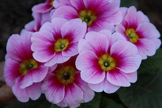 シジュウカラと、アトリ。花壇の花_e0255509_21232217.jpg