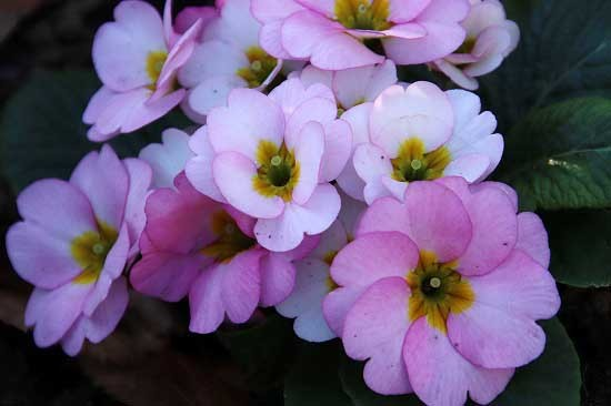 シジュウカラと、アトリ。花壇の花_e0255509_21233206.jpg