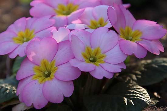シジュウカラと、アトリ。花壇の花_e0255509_21234288.jpg