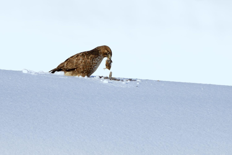 雪原に生きる_b0399052_17183545.jpg