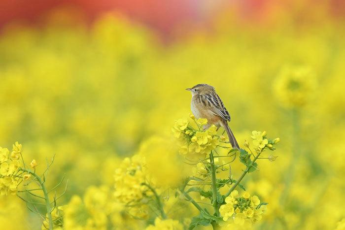 菜の花お花見♪ <雪加>_e0248688_17325398.jpg
