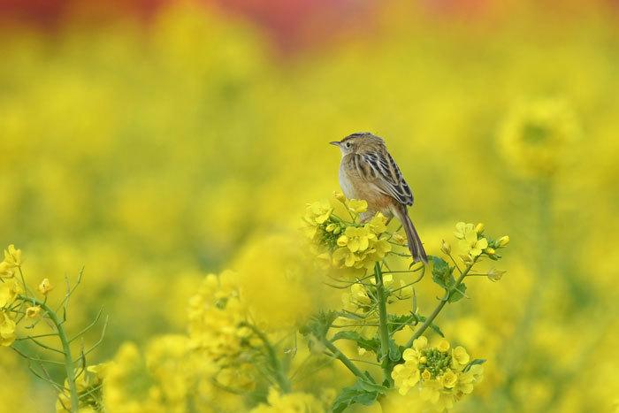 菜の花お花見♪ <雪加>_e0248688_17330604.jpg