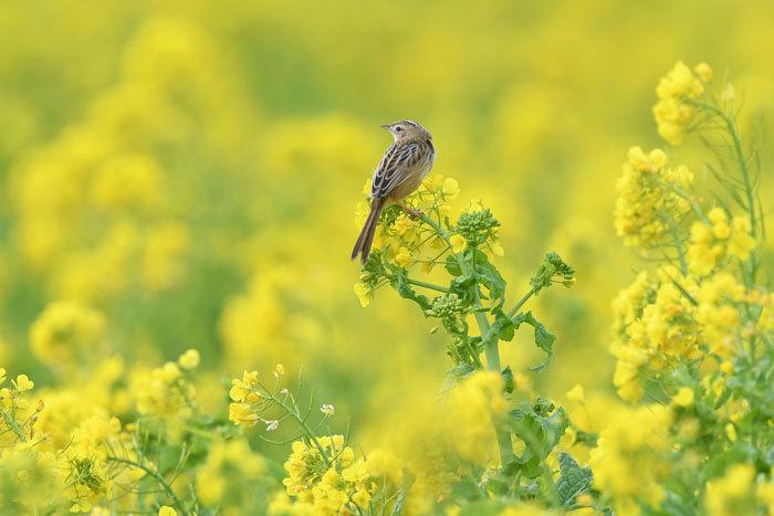 菜の花お花見♪ <雪加>_e0248688_17331843.jpg