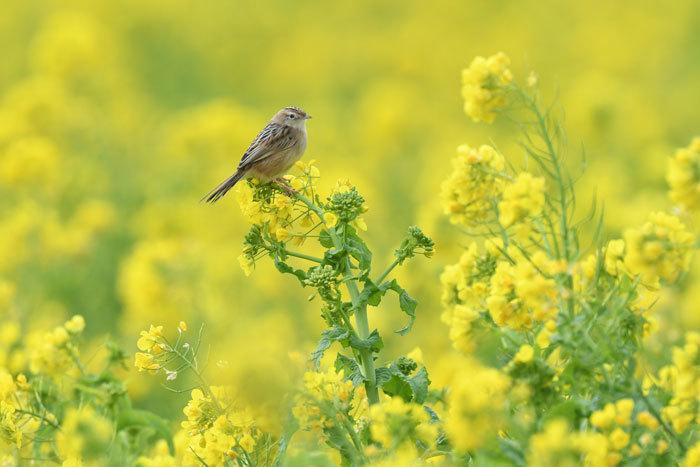菜の花お花見♪ <雪加>_e0248688_17332993.jpg