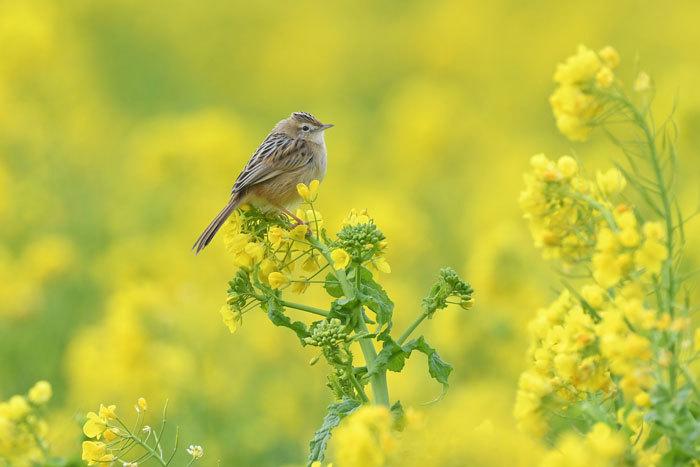 菜の花お花見♪ <雪加>_e0248688_17333758.jpg
