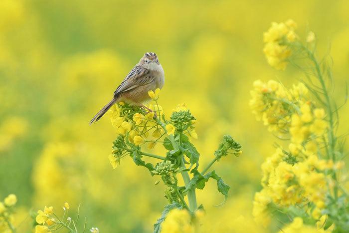 菜の花お花見♪ <雪加>_e0248688_17335237.jpg