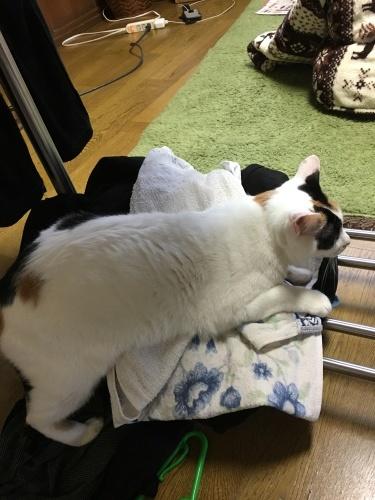 洗濯物の上に乗るのはやめて下さい_c0152205_08291792.jpeg