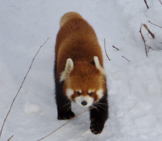 1月22日の円山動物園のアジアゾーン_b0014576_22591384.jpg
