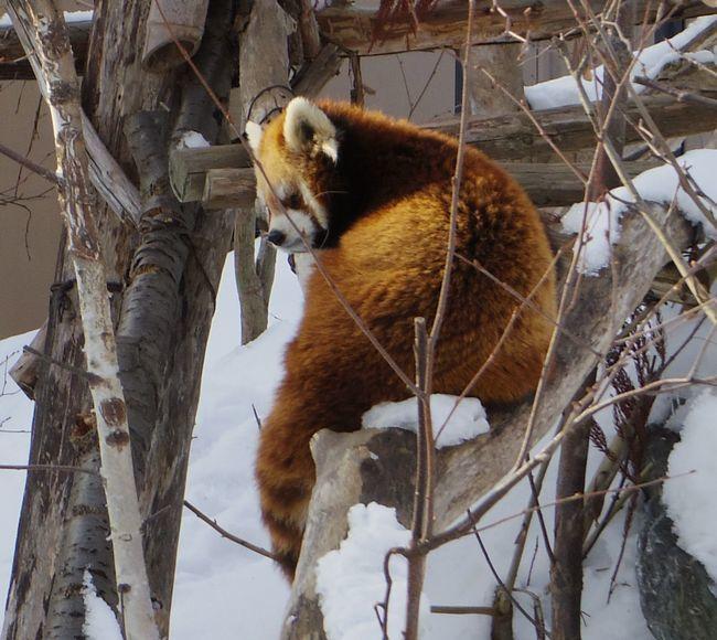 1月22日の円山動物園のアジアゾーン_b0014576_22592076.jpg