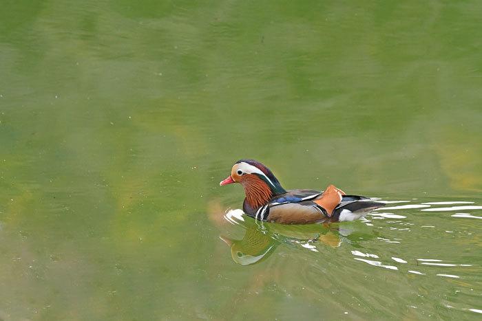 お池の鴨さん♪ <鴛鴦・鳰・巴鴨>_e0248688_17552715.jpg