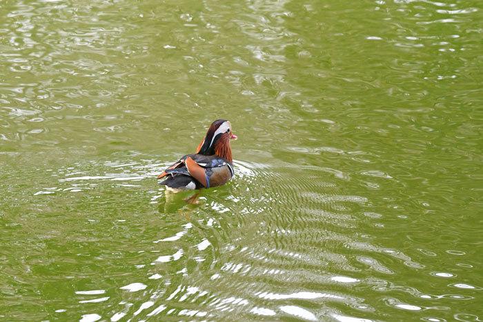 お池の鴨さん♪ <鴛鴦・鳰・巴鴨>_e0248688_17560572.jpg