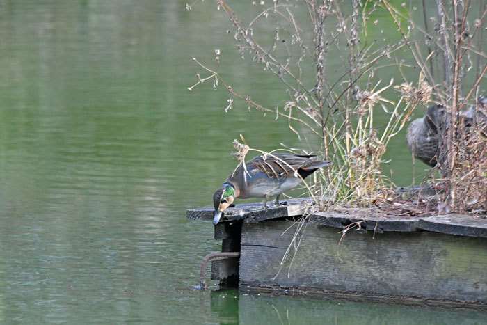 お池の鴨さん♪ <鴛鴦・鳰・巴鴨>_e0248688_17564338.jpg