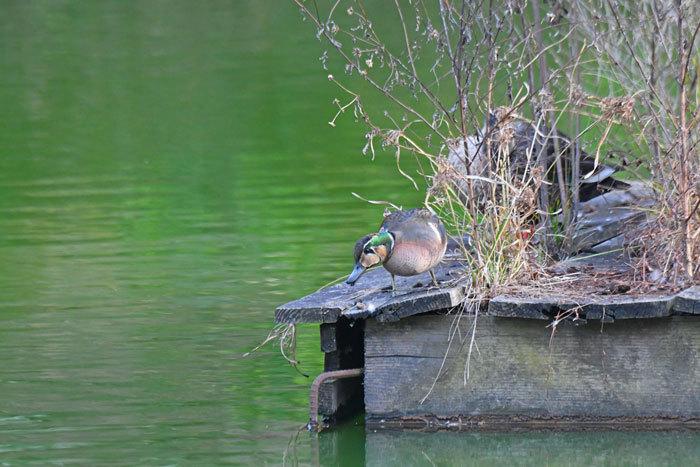 お池の鴨さん♪ <鴛鴦・鳰・巴鴨>_e0248688_17565674.jpg