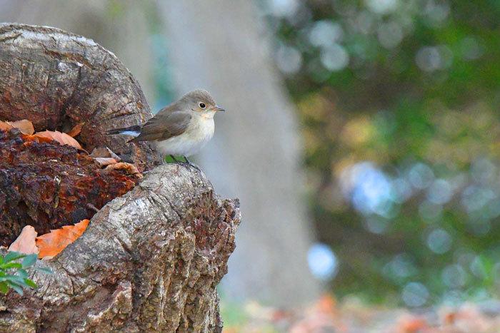 雑木林の鳥さん♪ <西尾白鶲>_e0248688_18050258.jpg