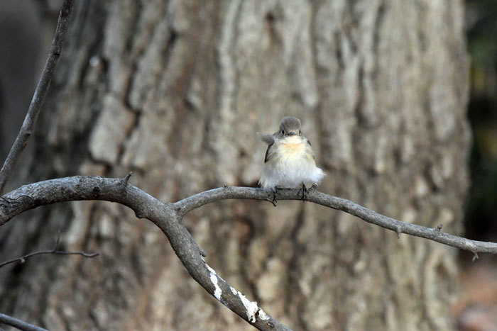 雑木林の鳥さん♪ <西尾白鶲>_e0248688_18054609.jpg